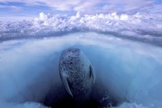 Paul Nicklen - 2008 Photo Contest | World Press Photo