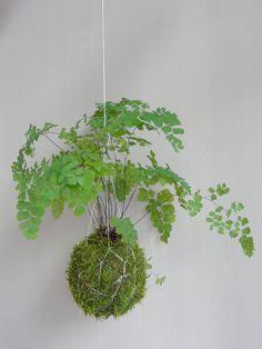 kokedama with fern