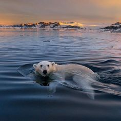 """When you look at this #polarBear you know you just want to say """"awwww! ❤️"""" Me too, they are beautiful to say the least. What polar bears like to eat is seal, what they hate to eat is straws. I just returned from the Arctic and it was sad to see plastic and garbage in remote places floating around, all products of negligence. My good friend @coryrichards just challenged me to #notSuck - It sounded par for something Cory would suggest I do and a reasonable request, then I realized he was…"""
