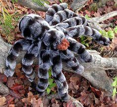 pics of spiders   Giant Tarantula spider, Tarantula Pictures, Tarantula Facts…