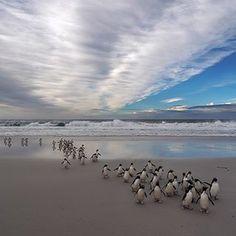 Celebrate the day with these southern rockhopper penguins on Saunders Island in the Malvinas Islands, 300 miles east of South America's Patagonian coast. Incredible image by @jaydickmanphoto #beautifullatinamerica   Celebra el día con estos pingüinos de penacho amarillo del sur en la Isla Saunders en las Malvinas, a 300 millas al este de la costa patagónica de Suramérica #latinoamericahermosa