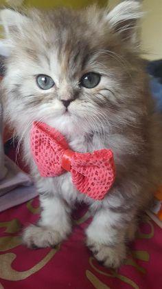 Bowtastic Kitty