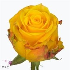 Rose Candlelight is a lovely Yellow cut flower - Plan for your upcoming wedding or event now with Triangle Nursery   Browse our range of yellow wedding & event flowers  