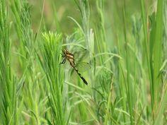 トンボ. dragonfly. 1 August 2016.