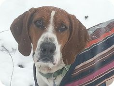 Treeing Walker Coonhound Dog for adoption in Evans, Colorado - Roscoe Dog Lover Gifts, Dog Lovers, I Love Dogs, Cute Dogs, Treeing Walker Coonhound, No Kill Animal Shelter, Hound Breeds, Red Bone