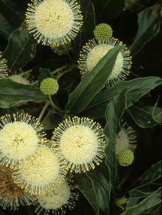 Amazing Unusual Plants To Grow In Your Garden Unusual Flowers, Unusual Plants, Amazing Flowers, Exotic Plants, Australian Native Garden, Australian Native Flowers, Australian Plants, Deco Nature, Seed Pods