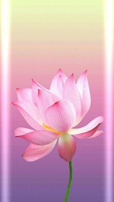 Fleur de lotus Fleur de lotus Plants are definitely the most important points that Natur Wallpaper, Lily Wallpaper, Horse Wallpaper, Wallpaper Ideas, Wallpaper Nature Flowers, Beautiful Flowers Wallpapers, Flower Backgrounds, Lotus Flower Wallpaper, Flowery Wallpaper