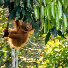 """Deviliciously Raw Travel Life on Instagram: """"Deep in the jungle of Borneo Island #borneo #jungletrek #orangutan"""" Orangutan, Borneo, Live Life, Trek, Island, Photos, Photography, Animals, Instagram"""