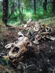 The full skeleton lies on the forest floor Animal Skeletons, Animal Skulls, Katmai National Park, Animal Bones, Deer Skulls, Forest Floor, Dark Forest, Forest Animals, Skull And Bones