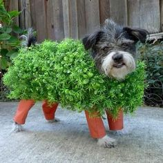 "Dressing your pet up as a ""chia pet"" is a clever Halloween pun. If you've decided to make your own pet costumes this Halloween, this is one that should be at the top of your list. Diy Halloween, Chien Halloween, Homemade Halloween Costumes, Costume Halloween, Halloween Series, Halloween Clothes, Happy Halloween, Halloween Tutorial, Chia Pet"