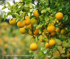Citrus Flying Dragon Flying Dragon Trifoliate Orange - Edible Landscaping zone 6-9