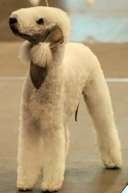 Bedlington Terrier ♥ Look at that beauty!