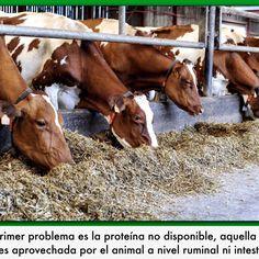 La gluconeogénesis es la proteína de la dieta y del tejido corporal que sirve como fuente de carbono para la síntesis de glucosa (energía), lo que ocurre durante las primeras 8-10 semanas posparto. La formulación proteica en las vacas de alta producción es uno de los nutrientes más difíciles de formular en la alimentación práctica