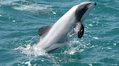 Are Maui's dolphins facing their last chance? The world's smallest and rarest dolphin is on the path to extinction. Only decisive action can still save the unique and beautiful cetacean.