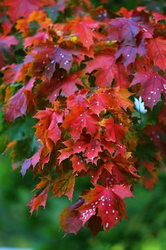 Free Pictures, Free Images, Red Leaves, Autumn Nature, Nature Photos, Asian Art, High Quality Images, Flowers, Plants