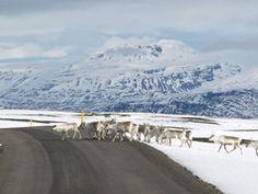Reindeerland (from Egilsstadir, East Iceland)