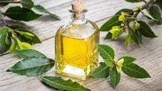 9 pravidel, jak správně pěstovat vavřín vznešený (Laurus nobilis), koření bobkový list. Jak a proč bobkový list pomáhá zdraví. Recepty s bobkovým listem.