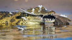 Crocodile Meal by Wim van den Heever on 500px