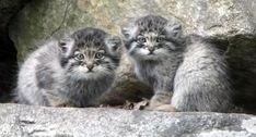25 unlikely animal friends sleeping together Cute Baby Animals, Animals And Pets, Funny Animals, Draw Animals, Kittens Playing, Cute Cats And Kittens, Felis Manul, Wild Cat Species, Unlikely Animal Friends
