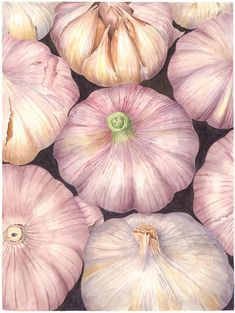 Sally Jacobs paints the joy that I feel about alliums. Botanical Vegetable Art Print - Garlic Variety - Watercolor Fine Art Painting by Sally Jacobs - Kitchen Restaurant Wall Décor