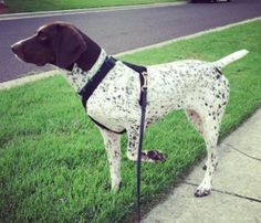 Maddie is an adoptable German Shorthaired Pointer Dog in St. Louis, MO. Maddie is a beautiful purebred German Shorthaired Pointer. She joined rescue 4 months ago, when she was saved as part of a cruel...