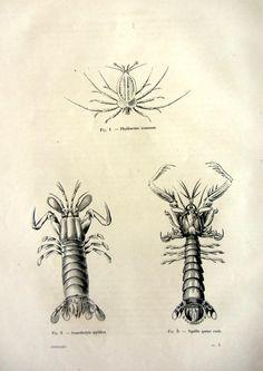 1860 Vintage mantis shrimp print original by LyraNebulaPrints, $24.99
