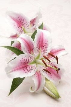 Stargazer lily - the flowers in my daughter's wedding bouquet. Exotic Flowers, Amazing Flowers, My Flower, Beautiful Flowers, Golden Flower, Oriental Lily, Stargazing, Trees To Plant, Watercolor Flowers