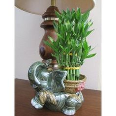 Lucky Bamboo Plant Jumbo Elephant Ceramic Vase with 3 Tier 4 6 8 Quality Feng Shui, Christmas Cactus Plant, Lucky Bamboo Plants, Flower Pots, Flowers, Flower Ideas, Unique Plants, Green Plants, Gardens