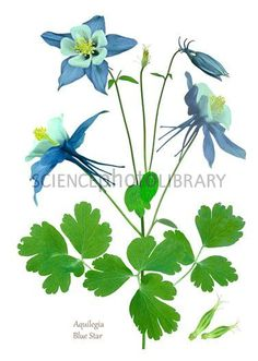 columbine Drawings | Columbine (Aquilegia 'Blue Star')