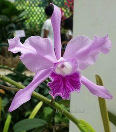 Orquídea-Jardim Botânico  - Rio de Janeiro- Foto: Marília Vidigal Carneiro