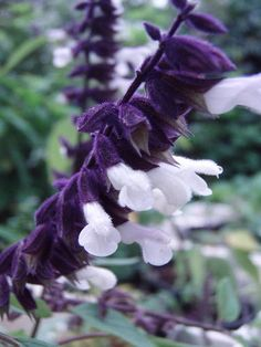 salvia 'megan's magic'