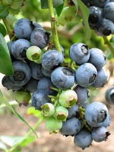 Since I don't live in Maine anymore where they grow wild - a how to - Grow Blueberries in your Home Vegetable Garden