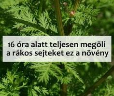 8 óra alatt roncsolja szét a rákos sejteket ez a növény – Filantropikum.com Herbal Remedies, Natural Remedies, Yeast Infection During Pregnancy, Low Fat Protein, Health Questions, Feel Good Food, Health Vitamins, Health Advice, Good To Know