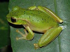 The Mountain Stream Tree Frog, (Litoria barringtonensis) es una especie de anfibio anuro del género Litoria de la familia Hylidae. Originaria de Australia en Myall Lakes cerca de Dorrigo National Park y Barrington Tops National Park.
