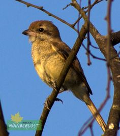 Brown Shrike Sunderban Photo Credit: Nilanjan Patra