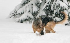 She was insistent that we throw the ball despite the weather. Now she has to find it. German Shepherd Pictures, German Shepherds, Weather, Snow, Dogs, Outdoor, Outdoors, Pet Dogs, Doggies
