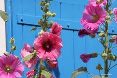 Roses trémières - Fleurs - Flowers - France