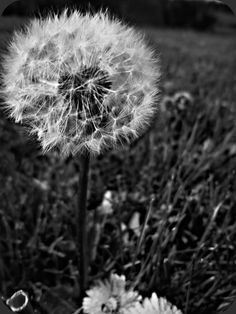dandelions lost in the summer sky..