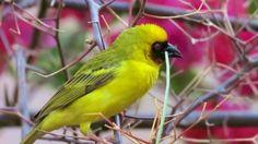 il tessitore Fauna Oman Dhofar 2016 Sultanate Of Oman, Birds, Animals, Animales, Animaux, Bird, Animal, Animais