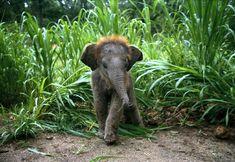 Baby Asian elephant blazing a trail : hardcoreaww