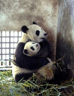 Who wants to trade places with that baby giant panda? Bai Xue holds her cub close in their enclosure in the Wolong Giant Panda Protection and Research Center in China.
