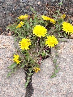 So klein, so verletzlich, aber sprengt Steine Plants, Communication, Stones, Planters, Plant, Planting