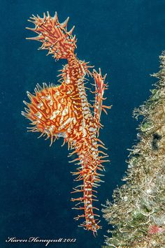 Solenostomus paradoxus (Ornate Ghost Pipefish) - Dumaguete, Philippines by Karen Honeycutt, via Flickr