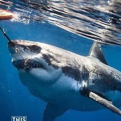 Shark Pictures, Shark Photos, Big Shark, Shark Swimming, The Great White, Great White Shark, Underwater Creatures, Ocean Creatures, Megaladon Shark