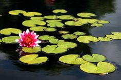 Wonderful photo of a lily pad pond! I like the composition and the colors are lovely! Share your thoughts here