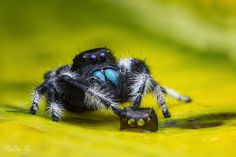 Phidippus Regius Male with its Moult Spider Pictures, Baby Animals, Cute Animals, Cool Bugs, Itsy Bitsy Spider, Jumping Spider, Beautiful Bugs, Mundo Animal, Bugs And Insects
