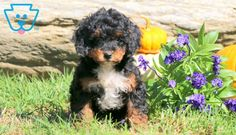Hope | Cockapoo Puppy For Sale | Keystone Puppies