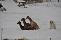 Sometimes you just feel like a dog at a llama orgy.