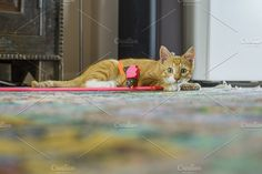 Do you want to play? Photos Young red cat with toy looking alert at cameraMore images of animals: https://creativemarket.com/H by Patricia Hofmeester