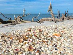 seashells-litter-the-beach-on-cayo-costa.